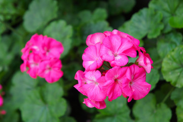 Pink colored pelargonia or geranium flowers with green background