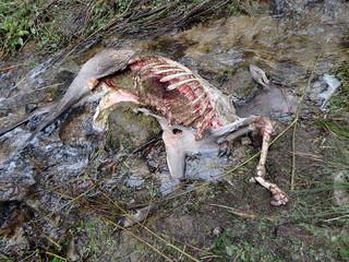 deer torn wolves, deerskin torn wolves,