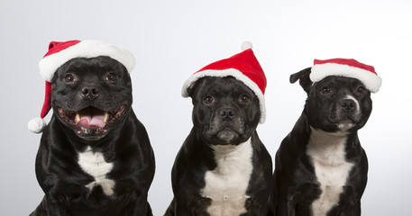 American staffordshire dogs isolated on white. Group of dogs wearing a Christmas hats.