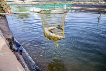 Breeding of sturgeon in pond farming -  Sturgeon fish