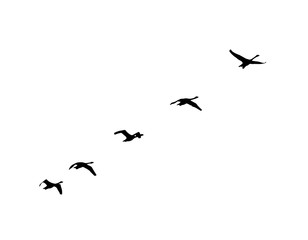 Whooper Swan (Cygnus cygnus) wedge in flight. Vector silhouette a flock of birds