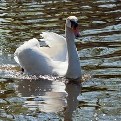 Beatuful white swan swimming toward you