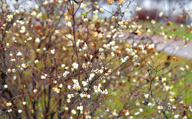 Bush with white berries in autumn.