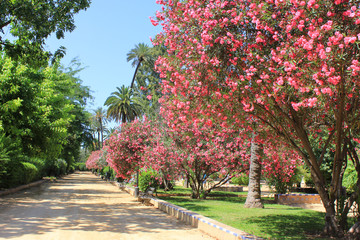 Jardines de Murillo (Murillo Gardens) in Alcazar of Seville, Spain. Outdoor Park Summer Scene with Blossom Bush Pink Azalea Flower Leaves, Palm Green Trees and Empty Alley Pathway in the Middle.
