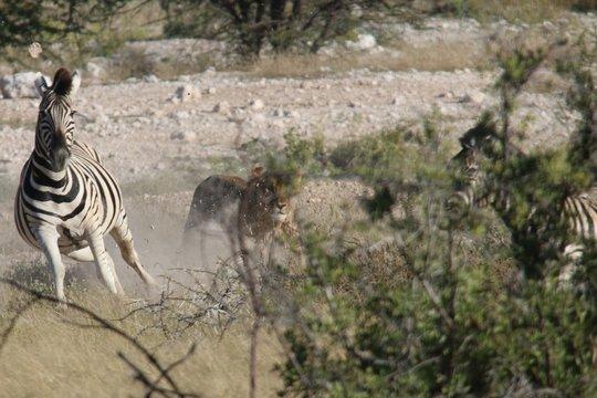 Löwin reißt Zebra