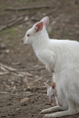 albino wallaby and joey