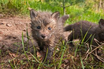 Red Fox Kit (Vulpes vulpes) Looks Forward