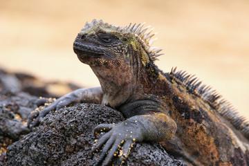 Marine iguana on Santiago Island, Galapagos National Park, Ecuador