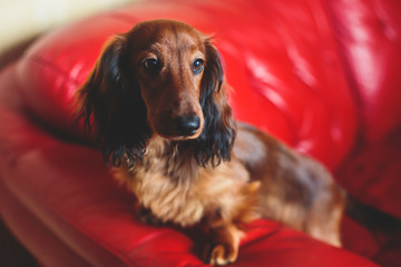 Beautiful Red Long-haired Dachshund portrait, summer picture of adult funny dachshund dog