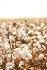 Beautiful Cotton field in West Texas