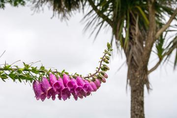Foxglove in bloom
