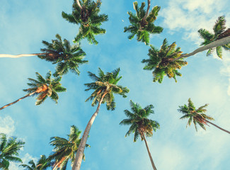 Wall Mural - Coconut palm tree on sky background.   Low Angle View. Toned image