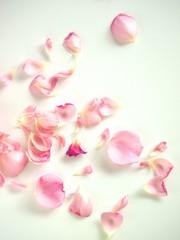 散ったピンクの薔薇の花びら、白背景