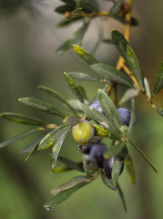 Olives after a rain on a branch of an olive tree