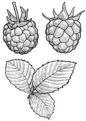 Raspberry illustration, drawing, engraving, ink, line art, vector