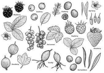 Berry collection illustration, drawing, engraving, ink, line art, 
