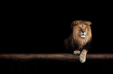 Printed roller blinds Lion Lion Portrait in the dark