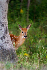 White-tailed deer fawn peeking from behind a tree