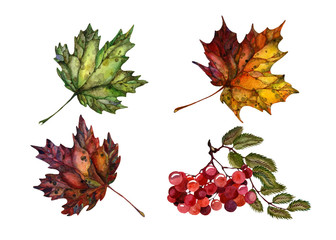 Watercolor Set of Autumn Plants: Stick of Red Wild Ash and Bright Red, Green, Yellow and Purple Maple Leaves isolated on white