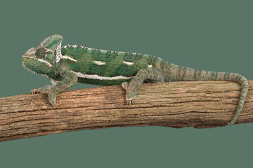 Veiled Chameleon (Chamaeleo Calyptratus)/Veiled Chameleon on branch against green background