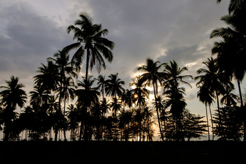 silhouette of coconut trees are planted in garden