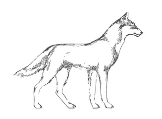 Hand drawn wolf. Black vector forest predator image on white background. Sketch style illustration.