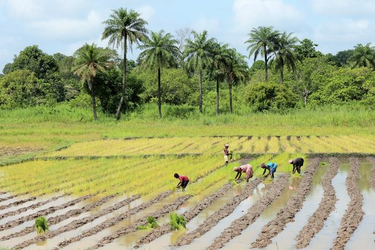 paysans from guinea bissau cultivating in a rice field before o forest of palm trees