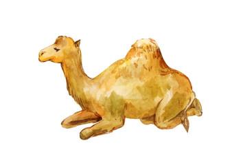 Lying camel. Watercolor drawing