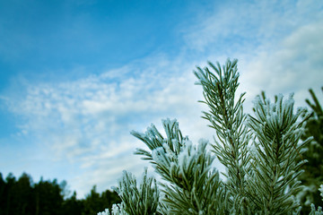 Green branches of a young pine tree in frost.