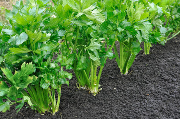 close-up of celery plantation (leaf vegetable) in the vegetable garden, view from above