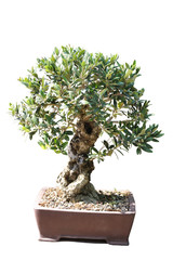 Bonsai of an olive tree in pot