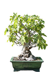 Bonsai of a fig tree in pot