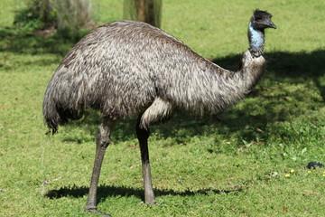 Zelfklevend Fotobehang Struisvogel Closeup of wild emu on south coast of Australia