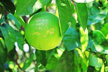 Green orange fruits hanging on tree. Natural background. Citrus. Tropical, exotic fruit