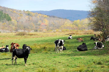 Dairy cows in a pasture