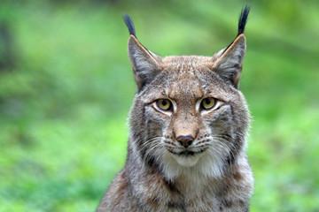 Printed kitchen splashbacks Lynx Lynx