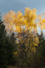 Sunset is reflected in the yellow leaves of birch