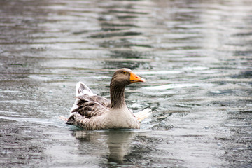 Goose in water, rainy day