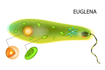 Euglena verde. Vector euglena structure