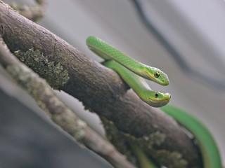 Paar der Rauen Grasnatter (Opheodrys aestivus) auf Zweig