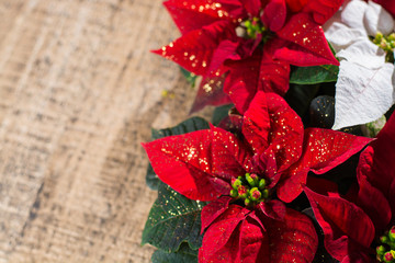 Christmas star red and white poinsettia flowers, Christmas background with copy space, free text