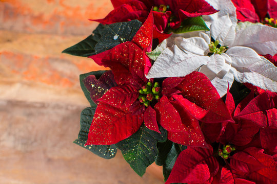 Christmas star red and white poinsettia flowers, Christmas decoration