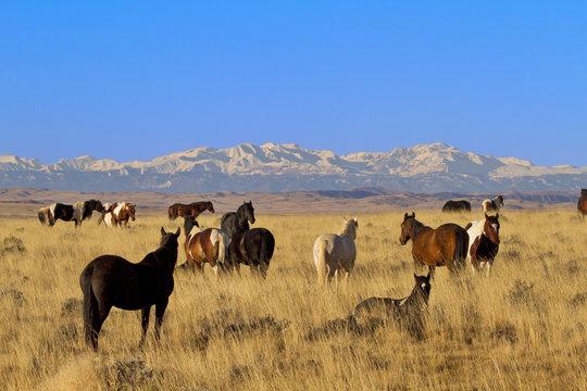 Vigilant stallion watches his wild herd of horses in Wyoming