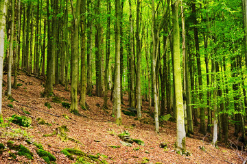 Wall Murals Beech forest in the Owl Mountains Landscape Park, Sudetes, Poland. Beech Fagion sylvaticae trees growing in deciduous woodland.