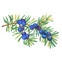 Branch of Juniper plant (Juniperus communis) with berries and leaves. Fresh juniper fruits. Watercolor hand drawn painting illustration isolated on white background.