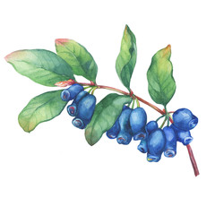 Branch of honeysuckle plant (Lonicera caerulea) with blue berries and leaves. Fresh honeysuckle fruits (Haskap, Honeyberry). Watercolor hand drawn painting illustration isolated on white background.