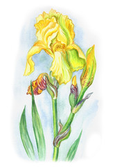 Yellow iris, watercolor painting on white background.
