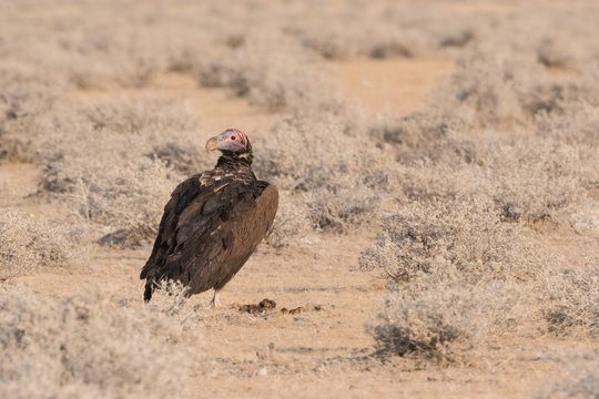 Lappet-faced vulture standing on ground looking back