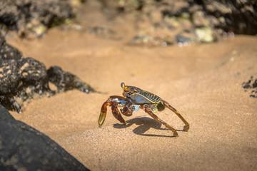 Colorful Red Crab (Goniopsis cruentata) at Praia do Sancho Beach - Fernando de Noronha, Pernambuco, Brazil