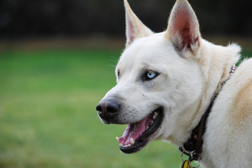 Outdoor portrait of a blue eyed mix breed white dog.